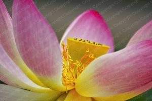 Poster Lotusblume
