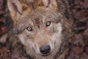 Poster Portrait Wolf